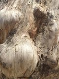 Burl di legno Fotografia Stock Libera da Diritti