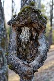 A burl on a diseased tree. An unusual burl on a diseased tree in Jay Cooke State Park in Minnesota stock photos