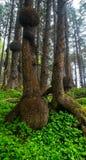 Burl Forest im olympischen Nationalpark lizenzfreie stockfotos