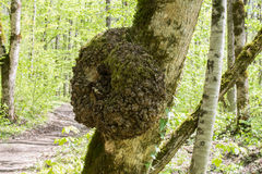 A burl growing on tree. A burl growing on an oak tree royalty free stock images