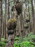 Burl growing on a tree in the rainforest Royalty Free Stock Images
