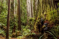 Burl on an moss covered old-growth redwood tree Sequoia sempervirens in a northern california forest royalty free stock photos