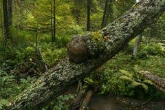 Burl no tronco de uma árvore fotografia de stock royalty free
