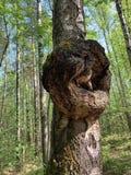 Burl o ufficio o sbavare crescita deforme su un tronco di albero della betulla fotografie stock