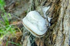 Burl op de boom in de zomerbos royalty-vrije stock fotografie
