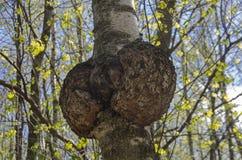 Burl op de boomstam van de berk stock fotografie