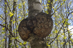 Burl on the trunk of the birch. Burr burl on the trunk of the birch. Sunny day in early May Stock Photography