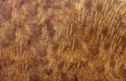 Burl wood striped for Picture prints interior decoration car, Exotic wooden beautiful pattern for crafts or abstract art t. Afzelia burl wood striped for Picture royalty free stock image