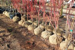 Burlap-balled trees ready for planting Stock Photography