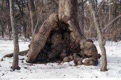 Burlen nodul av rotar naturabstrakt begrepp - burls för trädstam Arkivfoto
