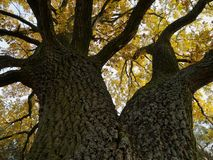 The burly oak with branched trunk, with autumn-colored leaves, view up to the tree crown. The broadly branched oak in fall, with yellow leaves. The stem and Stock Image