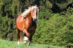 The burly stallion Royalty Free Stock Photography