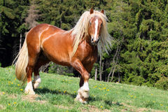 The burly stallion Royalty Free Stock Photography