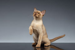 Burma Cat Looking up and raising paw on Gray Royalty Free Stock Image