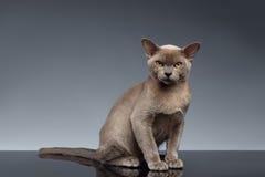 Burma Cat Sits och se in camera på grå färger Arkivbilder