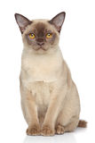 Burma cat on white background Stock Photos