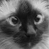 burma katt Arkivfoton