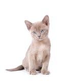 Burma kitten Stock Image