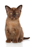 Burma kitten in front of white background Stock Photo