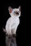 Burma kitten. Portrait on a black background Stock Photography