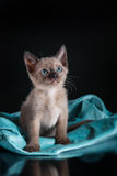 Burma kitten. Portrait on a black background Stock Photos