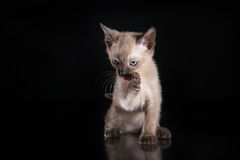 Burma kitten. Portrait on a black background Royalty Free Stock Photo