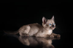 Burma kitten. Portrait on a black background Stock Image