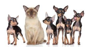 burma kota psów grupowa terierów zabawka obraz royalty free