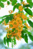 Burma padauk flowers. Pterocarpus is a pantropical genus of trees in the family Fabaceae. It belongs to the subfamily Faboideae, and was recently assigned to the royalty free stock photos
