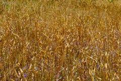 Burmanai-coelestris Blume Stockfotos
