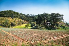 Burmanese cabbage field near Kalaw , Myanmar. stock photo