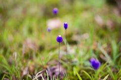 Burmania Coelestris d Don kwiat w Makro- Zdjęcie Stock