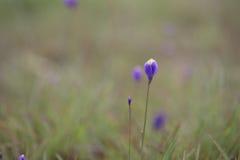 Burmania Coelestris D Trek bloem in Macro aan Royalty-vrije Stock Afbeeldingen