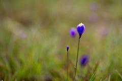 Burmania Coelestris D Trek bloem in Macro aan Stock Fotografie