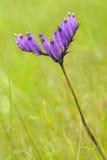 Burmannia coelestis D.Don Stock Image