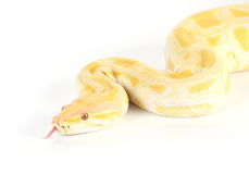 Burmese albino python Royalty Free Stock Photos