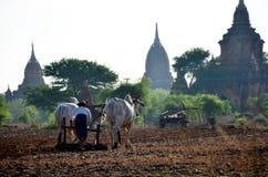 Burmese bonde med kon för att ploga att bogsera på risfält Arkivbilder