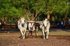 Burmese bonde med kon för att ploga att bogsera på risfält Arkivbild