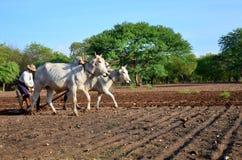 Burmese bonde med kon för att ploga att bogsera på risfält Arkivfoton