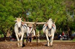 Burmese bonde med kon för att ploga att bogsera på risfält Royaltyfri Bild