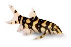 Burmese border loach catfish polka dot loach Botia kubotai aquarium fish stock photography