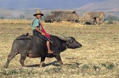 Burmese Boy on Buffalo Royalty Free Stock Photography