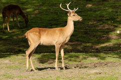 Burmese Brow Antlered Deer Stock Image