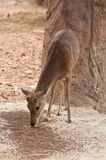 A Burmese Brow-Antlered Deer Royalty Free Stock Image