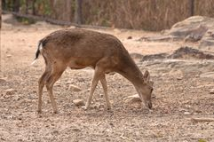 A Burmese Brow-Antlered Deer Stock Photos