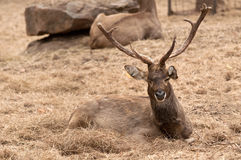 A Burmese Brow-Antlered Deer Stock Photo