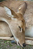 Burmese brow-antlered deer. Stock Images