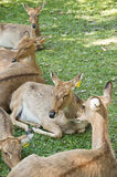Burmese brow-antlered deer. Stock Photos