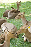 Burmese brow-antlered deer. Royalty Free Stock Images