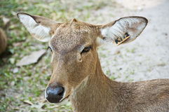 Burmese brow-antlered deer. Royalty Free Stock Photography